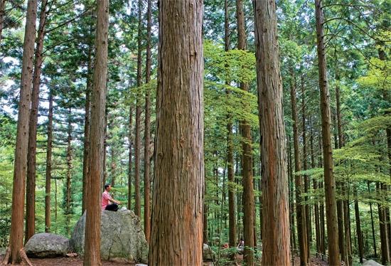 편백·삼나무 등 250만 그루, 장성 축령산 치유의 숲