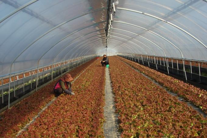 소규모 시설상추 재배로 고소득 창출, 영천 금호농장